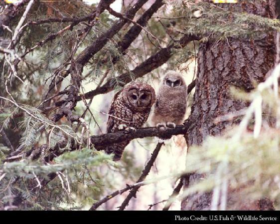 spotted owl edited - mashupcorner